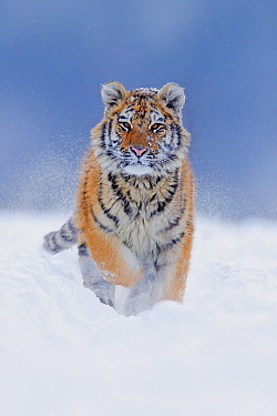 Siberian Tiger (Panthera tigris altaica) juvenile running through snow, native to Russia