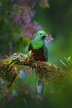 Resplendent Quetzal (Pharomachrus mocinno) male, Costa Rica