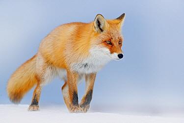 Red Fox (Vulpes vulpes) in snow, Germany