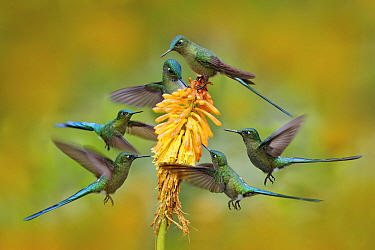 Long-tailed Sylph (Aglaiocercus kingi) hummingbird flock feeding on flower nectar, Ecuador