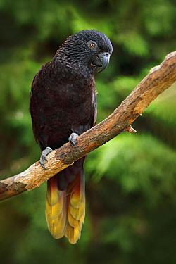 Black Lory (Chalcopsitta atra), Maluku Islands, New Guinea, Indonesia