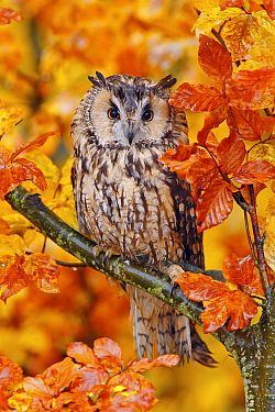 Long-eared Owl (Asio otus) in autumn, Norway