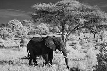 African Elephant (Loxodonta africana) in savanna, Tarangire National Park, Tanzania