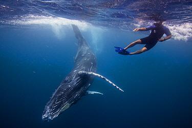 Humpback Whale (Megaptera novaeangliae) calf and snorkeler, Vava'u, Tonga