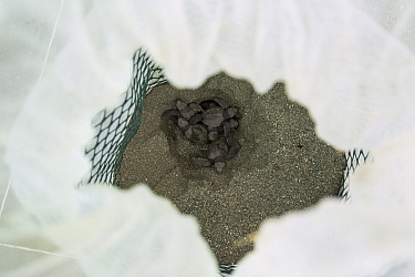 Olive Ridley Sea Turtle (Lepidochelys olivacea) hatchlings emerging from protected nest, Osa Conservation, Osa Peninsula, Costa Rica
