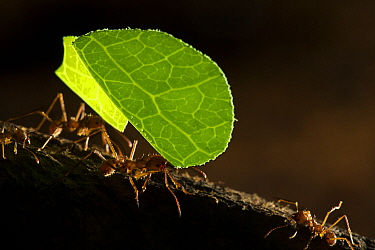 Leafcutter Ant (Atta cephalotes) mediae workers carrying leaves, Osa Peninsula, Costa Rica
