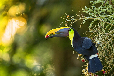 Chestnut-mandibled Toucan (Ramphastos swainsonii) feeding on palm fruit, Osa Peninsula, Costa Rica