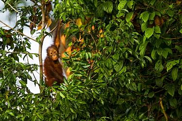Orangutan (Pongo pygmaeus) young, Sepilok Forest Reserve, Sabah, Borneo, Malaysia