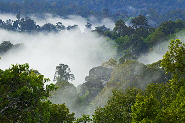 Lowland rainforest shrouded in clouds, Deramakot Forest Reserve, Sabah, Borneo, Malaysia