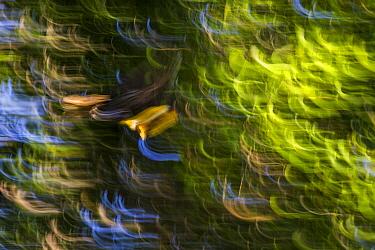 Wrinkled Hornbill (Rhabdotorrhinus corrugatus) male flying, Tabin Wildlife Reserve, Sabah, Borneo, Malaysia