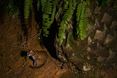 Sunda Leopard Cat (Prionailurus javanensis) in African Oil Palm (Elaeis guineensis) plantation at night, Sabah, Borneo, Malaysia