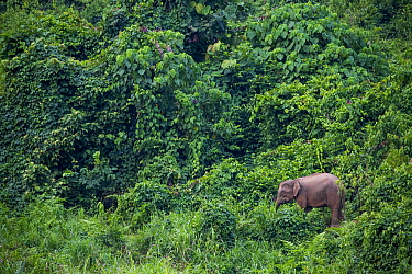Borneo Pygmy Elephant (Elephas maximus borneensis) in secondary forest, Tabin Wildlife Reserve, Sabah, Borneo, Malaysia