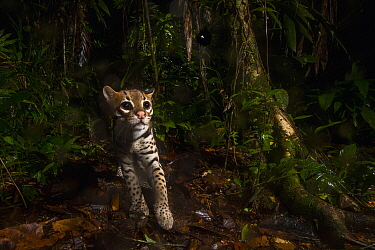 Ocelot (Leopardus pardalis) at night, Mamoni Valley, Panama
