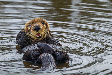 Sea Otter (Enhydra lutris) male grooming, Elkhorn Slough, Monterey Bay, California