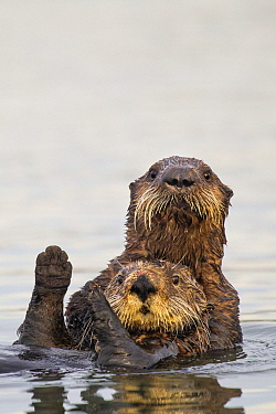 Sea Otter (Enhydra lutris) pup hugging mother, Elkhorn Slough, Monterey Bay, California