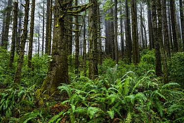 Sitka Spruce (Picea sitchensis) forest and Sword Ferns (Polystichum munitum), Prairie Creek Redwoods State Park, northern California