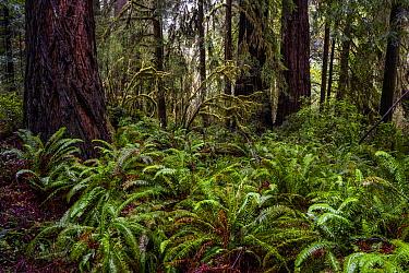 Coast Redwood (Sequoia sempervirens) forest with Sword Ferns (Polystichum munitum), Prairie Creek Redwoods State Park, northern California