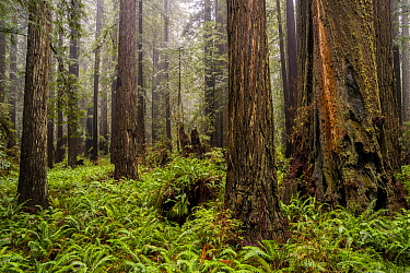 Coast Redwood (Sequoia sempervirens) trees and Sword Ferns (Polystichum munitum) in fog, Prairie Creek Redwoods State Park, northern California