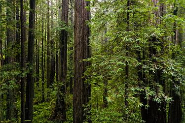 Coast Redwood (Sequoia sempervirens) forest, Prairie Creek Redwoods State Park, northern California