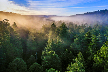 Coast Redwood (Sequoia sempervirens) forest in fog at sunrise, Prairie Creek Redwoods State Park, northern California