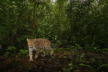 Jaguar (Panthera onca) male in tropical rainforest, Mamoni Valley, Panama