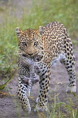 Leopard (Panthera pardus) mother carrying one-week-old cub, Jao Reserve, Botswana