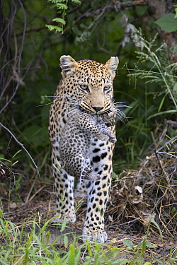 Leopard (Panthera pardus) mother carrying ten-day-old cub, Jao Reserve, Botswana