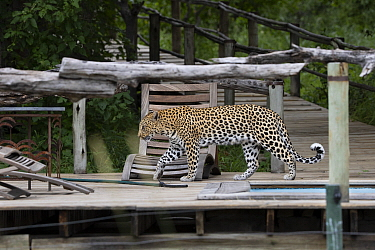 Leopard (Panthera pardus) female on boardwalk, Tubu Tree Camp, Jao Reserve, Botswana