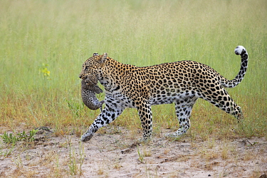 Leopard (Panthera pardus) mother carrying two-week-old cub, Jao Reserve, Botswana