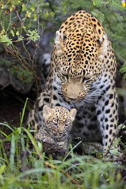Leopard (Panthera pardus) mother and four week old cub, Jao Reserve, Botswana