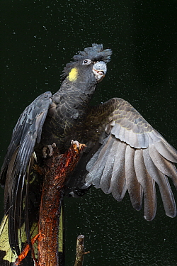 Yellow-tailed Black-Cockatoo (Calyptorhynchus funereus) spreading wings while being sprayed with water, Queensland, Australia