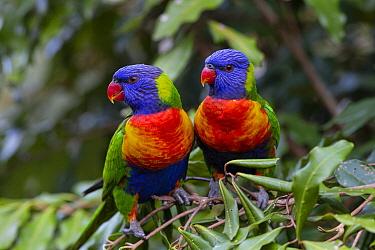 Rainbow Lorikeet (Trichoglossus haematodus) pair, Brisbane, Australia