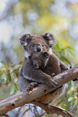 Koala (Phascolarctos cinereus) mother and joey, Kangaroo Island, Australia