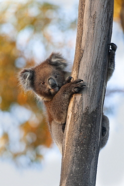Koala (Phascolarctos cinereus) in tree, Kangaroo Island, Australia