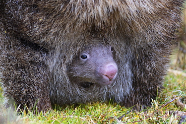 Common Wombat (Vombatus ursinus) joey in mother's pouch, Cradle Mountain-Lake Saint Clair National Park, Tasmania, Australia