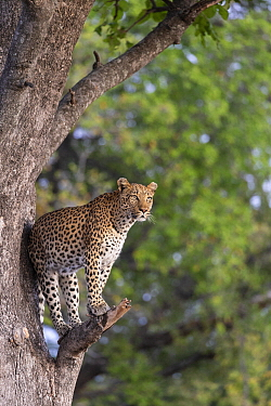 Leopard (Panthera pardus) in tree, Okavango Delta, Botswana