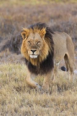 African Lion (Panthera leo) male, Okavango Delta, Botswana