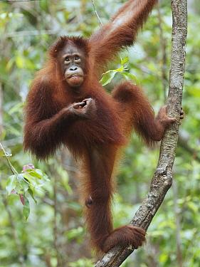Orangutan (Pongo pygmaeus) sub-adult, Tanjung Puting National Park, Borneo, Indonesia