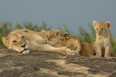 African Lion (Panthera leo) mother and cubs, Masai Mara, Kenya