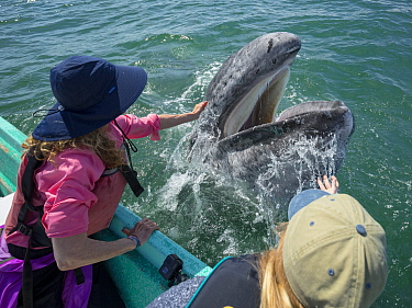 Gray Whale (Eschrichtius robustus) calf being pet by tourist, San Ignacio Lagoon, Baja California, Mexico