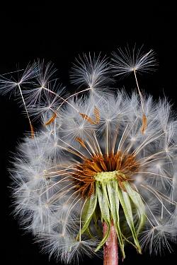 Dandelion (Taraxacum officinale) seeds being dispersed by wind, Japan