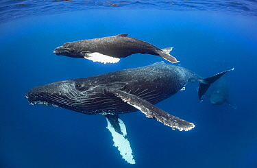 Humpback Whale (Megaptera novaeangliae) mother and calf with escort, Maui, Hawaii
