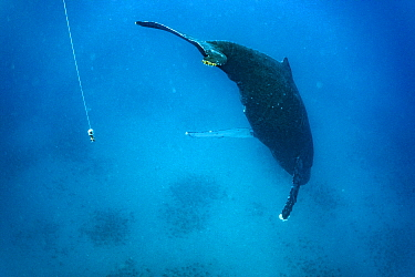 Humpback Whale (Megaptera novaeangliae) singing near microphone, Maui, Hawaii
