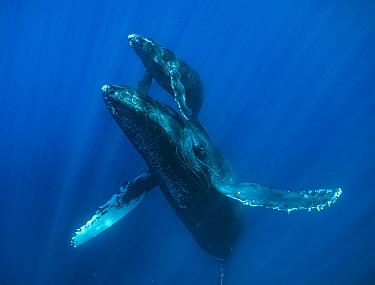 Humpback Whale (Megaptera novaeangliae) mother and calf, Maui, Hawaii