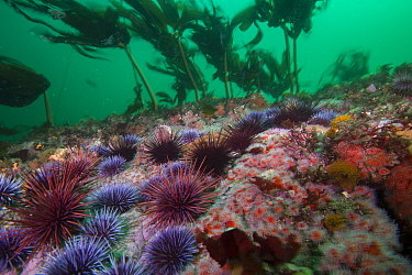Purple Sea Urchin (Strongylocentrotus purpuratus) barren, Carmel, California