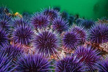 Purple Sea Urchin (Strongylocentrotus purpuratus) barren, Mendocino, California