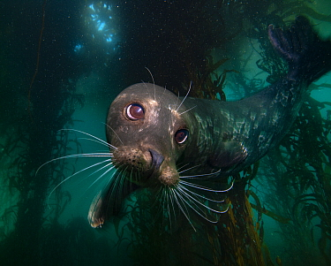 Harbor Seal (Phoca vitulina) in kelp forest, Monterey, California
