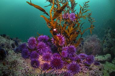 Purple Sea Urchin (Strongylocentrotus purpuratus) group feeding on last kelp in barren, Monterey, California