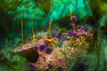 Purple Sea Urchin (Strongylocentrotus purpuratus) group feeding in kelp forest, Monterey, California