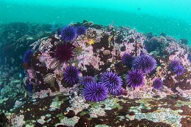 Purple Sea Urchin (Strongylocentrotus purpuratus) barren, Van Damme State Beach, California